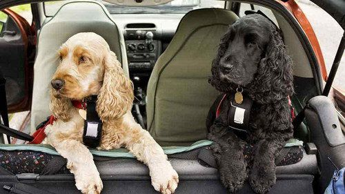2 Dogs At Vehicle Window