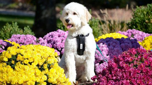 Small Dog With Strap Near Flowers