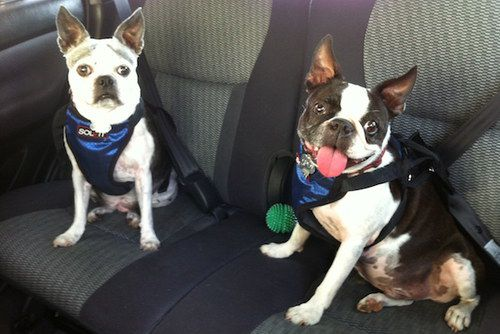 Dogs With Car Safety Harness